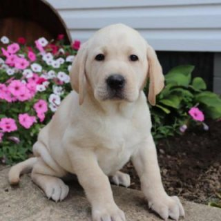 Cute Labrador Puppies Ready for sale