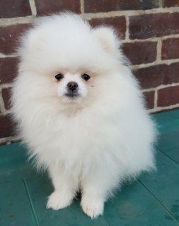 Cute teacup Pomeranian Puppies for sale
