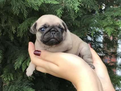 Adorable Pugs Puppies For Sale