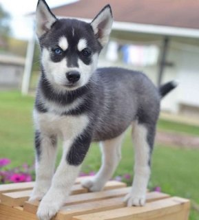 Gorgeous Siberian husky puppies for sale