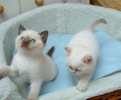 Cute Ragdoll kittens for sale