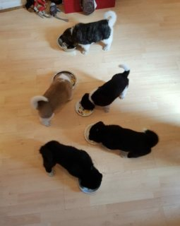 Akita Puppies Available