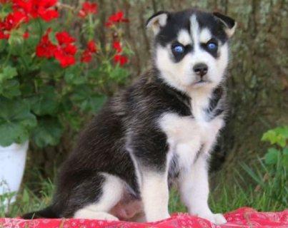 Super cute Siberian husky puppies for sale