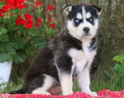 Super cute Siberian husky puppies for sale