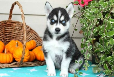 Clean AKC Siberian husky puppies for re-homing