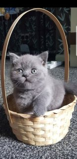 v ..Cute Male and female British Short Hair Kittens For Sale