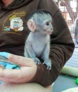 p...Male and female Capuchin monkeys for sale
