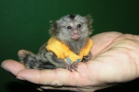 Adorable Marmoset Monkeys For available