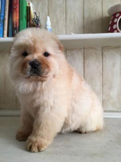 Chow Chow Puppies for fantastic homes