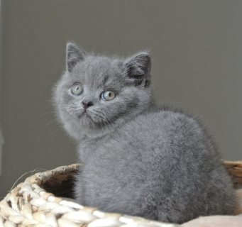 Clean British short hair kittens for sale