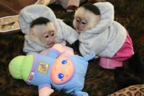 Super cute Capuchin Monkeys for sale
