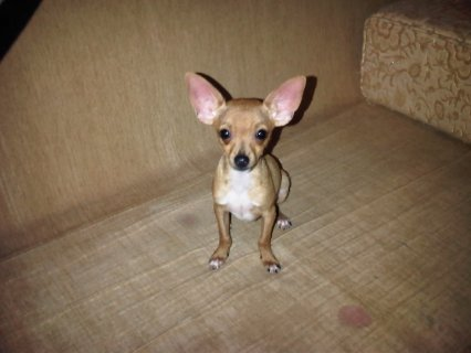 صورة الأولى كلب شيواوا للبيع