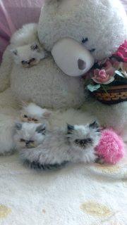 قطط صغيرة هيمالايا متميزة بيكي فيس