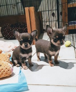 Lovely chihuahua's looking for a forever loving home.