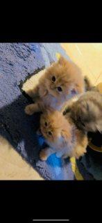 قطط شنشلا chinchilla kittens