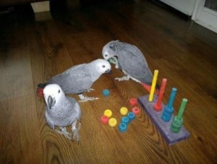 Nice male and Female African Grey Parrot for adoption