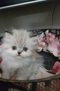 قط بيكي فيس