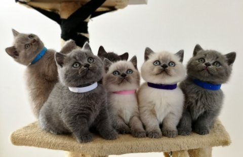 home trained male and female british shorthair kittens for sale