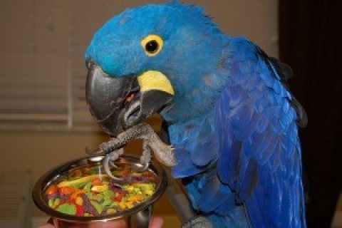A Pair of Hyacinth Macaw Parrots for Adoption