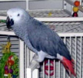 Well tamed africa grey bird
