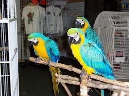 Beautiful pairs of blue and gold Macaw parrots