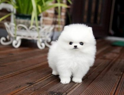 male and female teacup pomeranian puppies for sale