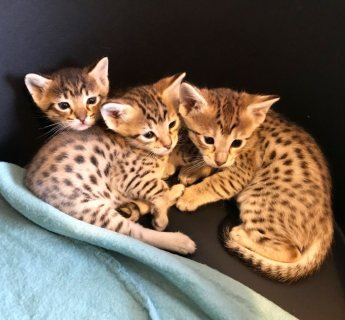 home trained f1 savannah kittens for sale