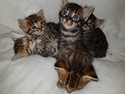 Bengal pure kitties قطط بنغال أصلي
