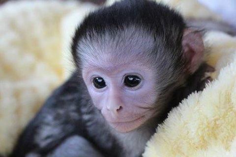 male and female capuchin monkeys for sale