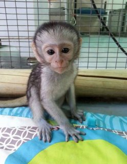 home trained male and female capuchin monkeys for sale