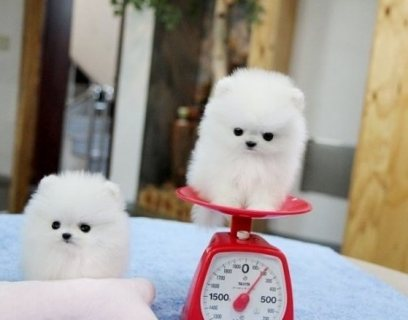 cute teacup pomeranian puppies for sale