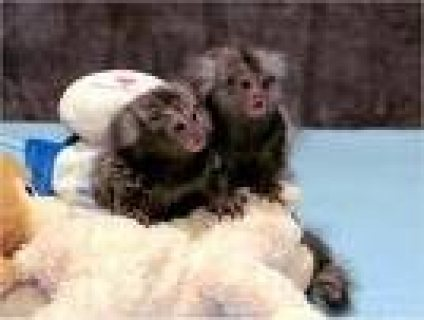 حبيبي تماما أنثى الأقزام marmoset