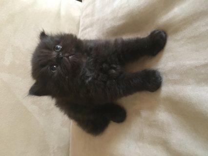 قط شيرازي هيملايا