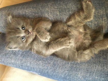 قط شيرازي مخلط هيملايا
