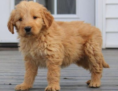Goldendoodle puppies available