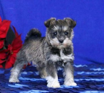 Schnauzer puppies for lovely homes