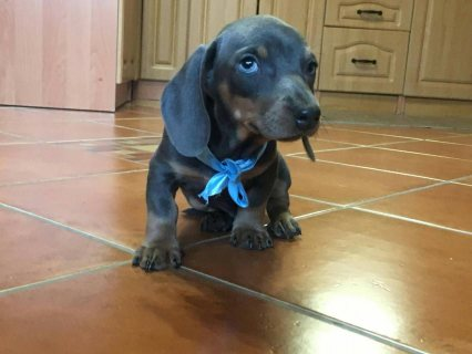 Dachshund puppies available for sale