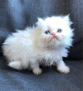 Cute Persians kittes for adoption