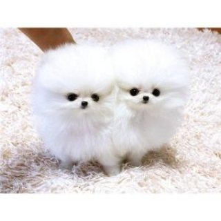 White Teacup Pomeranian Puppies for sale