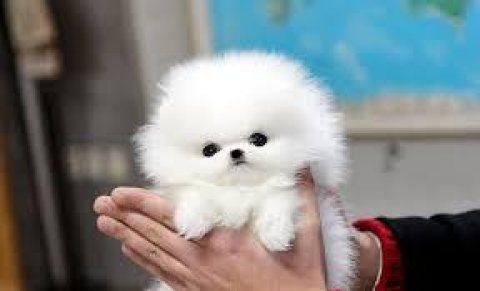 Stunning T-Cup Pomeranian Puppies