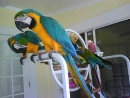 Good looking Blue And Gold Macaw parrots ready for sale