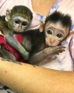 They are vet checked and micro chipped. Capuchin Monkeys