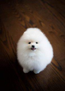Top Quality Registered Pomeranian