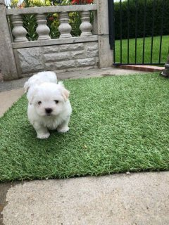 Two Top Class Maltese Puppies Available