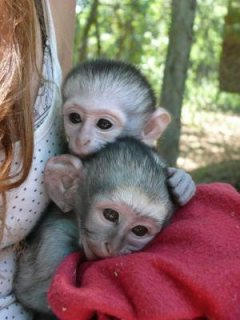 Capuchin babies ready for their forever loving homes