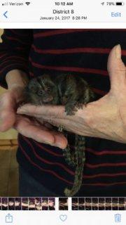 Precious marmoset babies