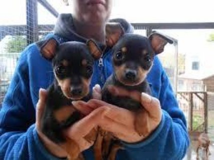 Well Trained Miniature Pinscher Puppies for sale