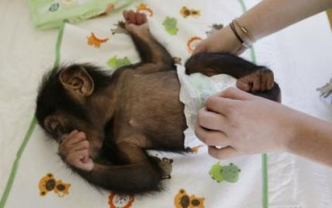 Amazing 2 Monkey Chimpazee For Adoption