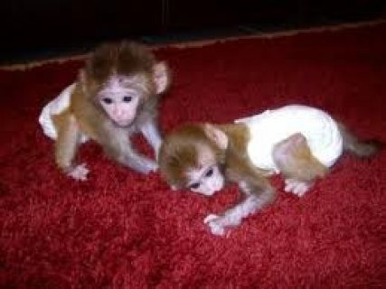 Outstanding male and female Capuchin monkeys for adoption