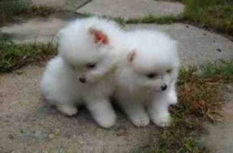 Lovely male and female Pom puppies for adoption